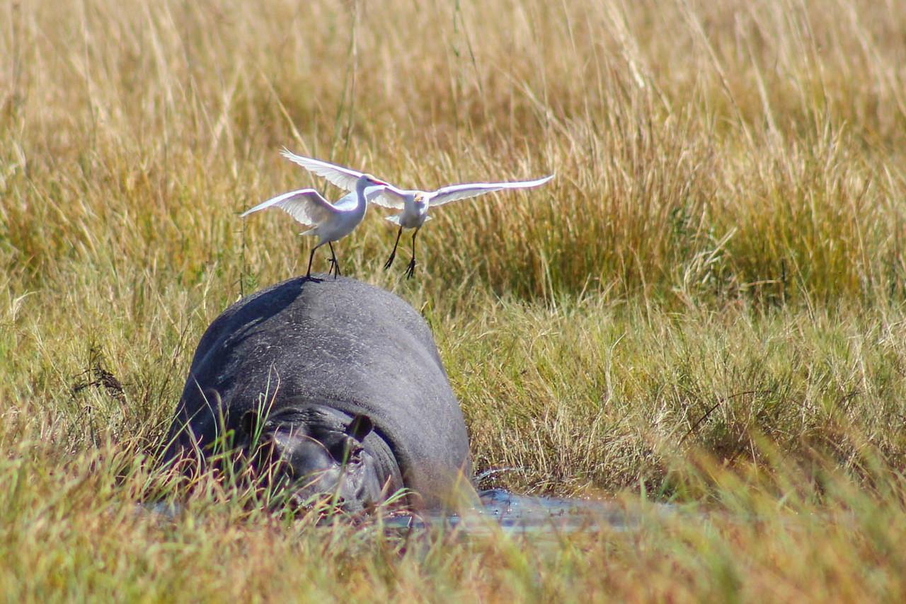 Great White Egret on Hippoooo