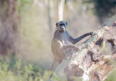 Baboon on a Fever Tree