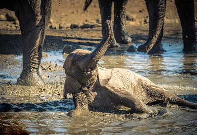 Baby Elephant Plays in a Water Hole