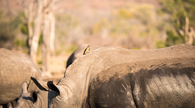 White Rhinoceros with Red-billed Oxpecker