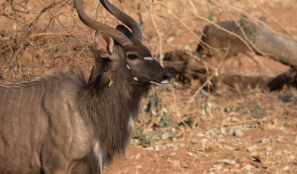 Nyala with Red-billed Oxpecker