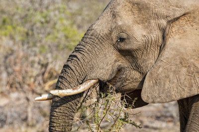 Elephant Eating Acacia