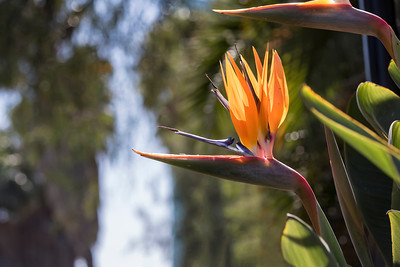 Bird of Paradise (Strelitzia)  Endemic to South Africa