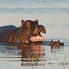 We found Hippopotamus (Hippopotamus amphibius) all over the Okavango Delta in Botswana. They are one of the most dangerous animals and deserve a lot of respect – although we never had any problem with them. Despite its stocky shape and short legs it can easily outrun a human. By Debbie Thompson in July 2008.