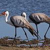 We watched these Wattled Cranes (Grus carunculatus) search for food along the water. These cranes stand six feet tall. The  They are found in sub-Saharan Africa, with the largest concentration here in the Okavango Delta of Botswana. These are in Moremi Game Reserve, Botswana. By Debbie Thompson in July 2008.