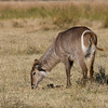 A Waterbuck female shows its telltale toilet seat ring on its hind-end. At Moremi Game Reserve, Botswana. By Debbie Thompson in July 2008.