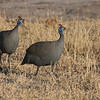 Helmeted Guineafowls (Numida meleagris) hang out in large flocks as they move across the landscape searching for food. These are at Moremi Game Reserve, Botswana. By Debbie Thompson in July 2008.
