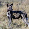 This African Wild Dog (aka Painted Dog) alpha female and mother of 11 cubs, was leading the pack on a hunt.  Photo by Keith Grundy, Moremi Game Reserve, Botswana, August 2017.