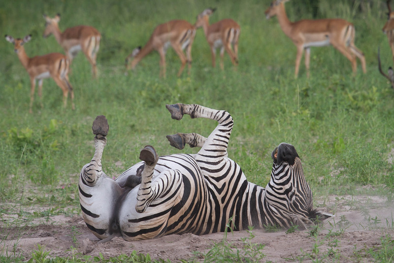 Male Burchell's Zebra rolling in the dirt in front of a group of female Impalas. Okavango Delta, February 2017. Photo by Nicole LaRoche