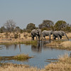 African Elephants are easily found in Chobe National Park in Botswana where they have a big affect on the landscape – pruning trees as they feed. By Debbie Thompson in July 2008.