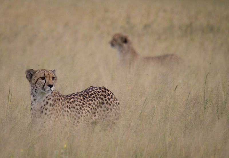 Mother and cub Cheetah surveying the plains in the Kalahari. March 2017. Photo by Nicole LaRoche
