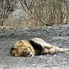 The Lion Sleeps Tonight, Kalahari Desert
