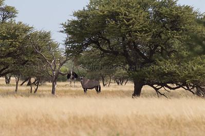 Oryx + Ostrich