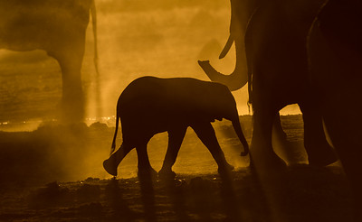 Backlit Baby Elephant