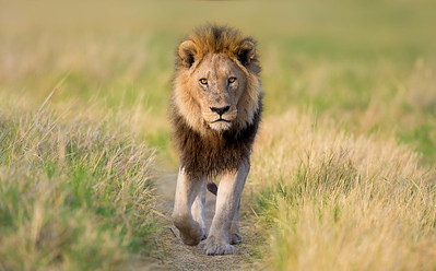 Lion on game trail, Okavango Delta