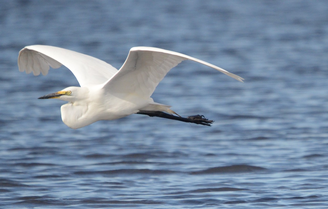 Great White Egret flying over the River Chobe, Botswana