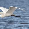 Great White Egret flying over the River Chobe, Botswana