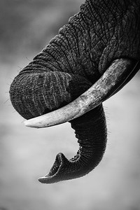 Elephant trunk, Chobe National Park
