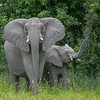Mother Elephant with Baby Raising its Trunk