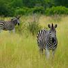Zebras in Kruger National Park, South Africa