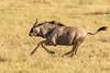 Wildebeest action