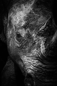 Rhino portrait, Pilanesberg National Park