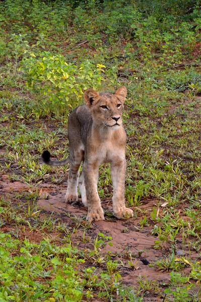 Lion Cub 2, Botswana, Africa