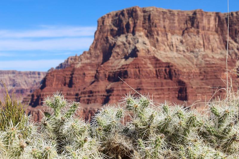 Canyon Cacti
