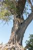 Perfect leopard tree