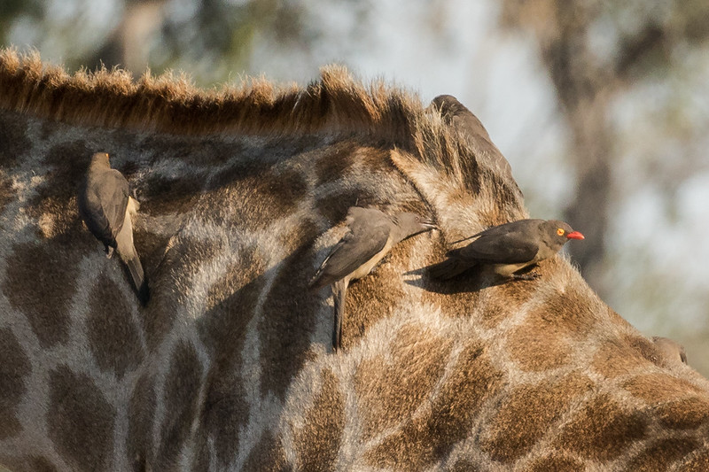 Red-billed oxpecker on giraffe