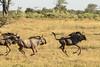 Running wildebeest