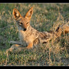 Jackal<br /> Our first day was a little slow, but ended with a very relaxed jackal in nice light.Jackals are common here as elsewhere, and if there is one predator you will see, this is it.