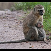 Vervet Monkey and Baby, Moremi, Botswana, 2011