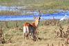 Lechwe-Botswana (5)
