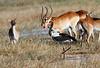 Saddle-Billed_Stork_Botswana (10)