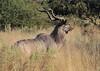Kudu_Botswana (22)