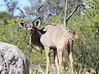 Kudu_Botswana (16)