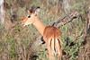 Impala_Botswana (13)