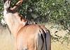 Roan_Antelope_Botswana (22)