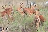 Impala_Botswana (2)