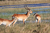 Lechwe-Botswana (10)