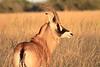 Roan_Antelope_Botswana (15)