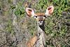 Kudu_Botswana (12)