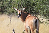 Roan_Antelope_Botswana (5)