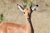 Impala_Botswana (1)