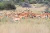 Impala_Botswana (4)