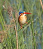 MalachiteKingfisher (2)