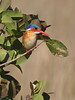 MalachiteKingfisher