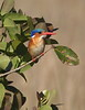 MalachiteKingfisher (1)