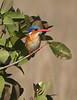MalachiteKingfisher (1)